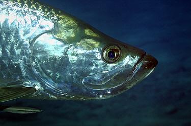 Atlantic Tarpon (Megalops atlantica), Saba, Caribbean  -  Hans Leijnse/ NiS