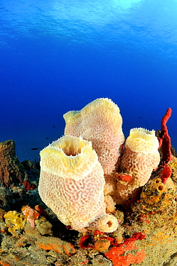 Pink Vase Sponge (Niphates digitalis) on coral reef, Saba, Caribbean  -  Hans Leijnse/ NiS