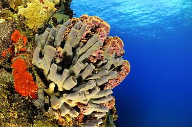Sponge (Aiolochroia crassa) on coral reef, Saba, Caribbean  -  Hans Leijnse/ NiS