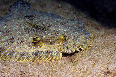 Peacock Flounder (Bothus lunatus) camouflaged on seafloor, Saba, Caribbean  -  Hans Leijnse/ NiS