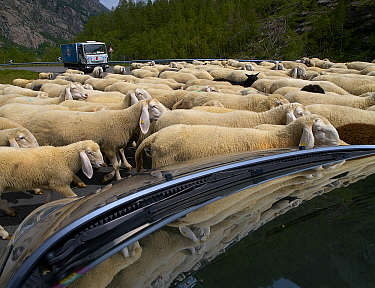 Domestic Sheep (Ovis aries) flock blocking traffic on road, Gran Paradiso National Park, Italy  -  Melvin Redeker / Buiten-beeld