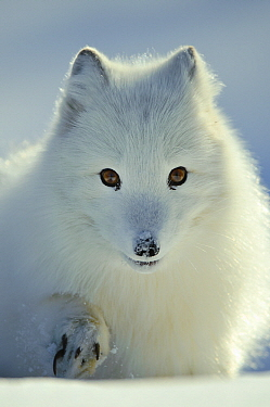 Arctic Fox (Alopex lagopus) in the snow, Flatanger, Norway  -  Willi Rolfes/ NIS
