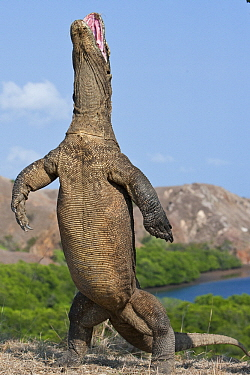 Komodo Dragon (Varanus komodoensis) standing on hind legs with mouth open in defensive display, Rinca Island, Komodo National Park, Indonesia  -  Stephen Belcher
