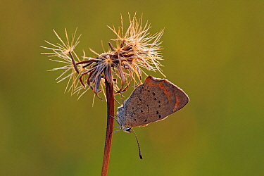 Small Copper (Lycaena phlaeas) butterfly on seedhead, Pruggern, Styria, Austria  -  Silvia Reiche