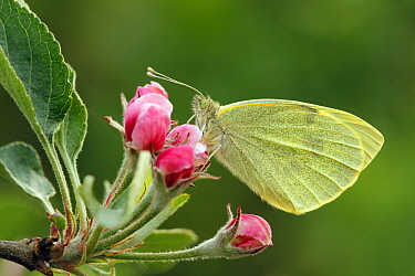 Cabbage Butterfly (Pieris brassicae) on apple blossom, Hoogeloon, Noord-Brabant, Netherlands  -  Silvia Reiche