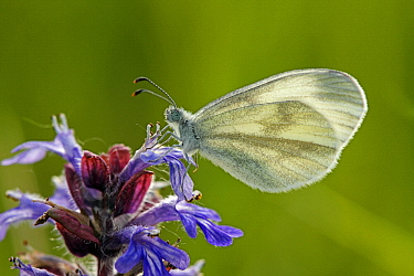 Wood White (Leptidea sinapis) butterfly on flower, Saint-Jory-las-Bloux, Dordogne, France  -  Silvia Reiche