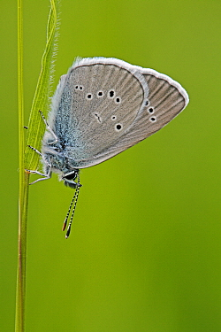 Mazarine Blue (Cyaniris semiargus) butterfly on blade of grass, Saint-Jory-las-Bloux, Dordogne, France  -  Silvia Reiche