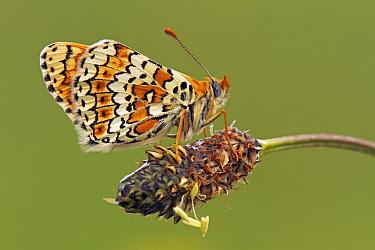 Glanville Fritillary (Melitaea cinxia) butterfly resting on spent flower, Saint-Jory-las-Bloux, Dordogne, France  -  Silvia Reiche
