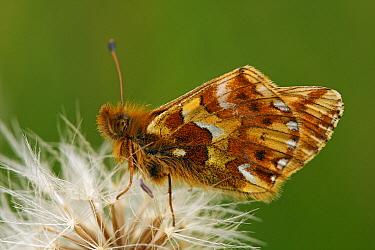 Mountain Fritillary (Boloria napaea) butterfly on seedhead, Bad Kleinkirchheim, Carinthia, Austria  -  Silvia Reiche