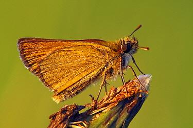 Small Skipper (Thymelicus sylvestris), Pruggern, Styria, Austria  -  Silvia Reiche