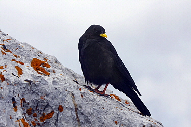 Yellow-billed Chough (Pyrrhocorax graculus) perched on a rock, Hoher Dachstein, Styria, Austria  -  Silvia Reiche