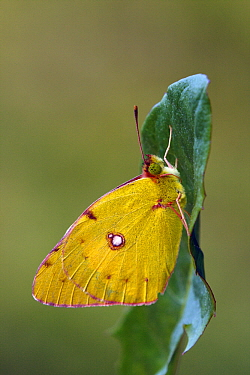 Clouded Yellow (Colias croceus) butterfly on a leaf, Pruggern, Styria, Austria  -  Silvia Reiche