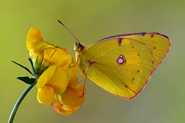 Clouded Yellow (Colias croceus) on flower, Pruggern, Styria, Austria  -  Silvia Reiche