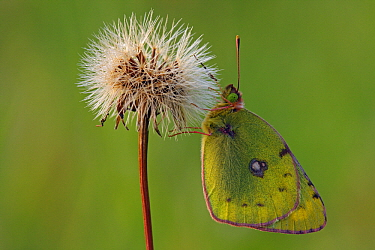 Danube Clouded Yellow (Colias myrmidone) butterfly on seedhead, Pruggern, Styria, Austria  -  Silvia Reiche