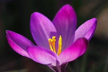 Dutch Crocus (Crocus vernus) flower, Hoogeloon, Noord-Brabant, Netherlands  -  Silvia Reiche