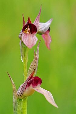 Tongue Orchid (Serapias lingua) flowering, Saint-Jory-las-Bloux, Dordogne, France  -  Silvia Reiche