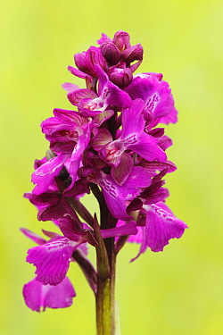 Early Purple Orchid (Orchis mascula) flowering, Saint-Jory-las-Bloux, Dordogne, France  -  Silvia Reiche