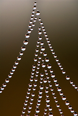 Dew drops on spiderweb, Leersumse Veld, Utrecht, Netherlands  -  Ronald Stiefelhagen/ NiS