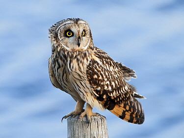 Short-eared Owl (Asio flammeus), Zeeland, Netherlands  -  Alexander  Koenders/ NiS