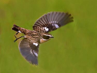 Whinchat (Saxicola rubetra) flying, Netherlands  -  Alexander  Koenders/ NiS
