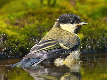 Great Tit (Parus major) juvenile bathing, Netherlands  -  Alexander  Koenders/ NiS