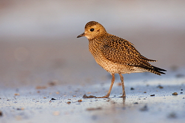 Golden Plover (Pluvialis apricaria) on the beach, Helgoland, Germany  -  Jan Wegener/ BIA