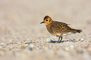 Golden Plover (Pluvialis apricaria) on sandy North Sea beach, Helgoland, Germany  -  Jan Wegener/ BIA