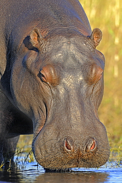 Hippopotamus (Hippopotamus amphibius) portrait, Chobe National Park, Botswana  -  Winfried Wisniewski