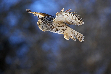 Ural Owl (Strix uralensis) hunting, Tartumaa, Estonia  -  Sven Zacek/ NiS