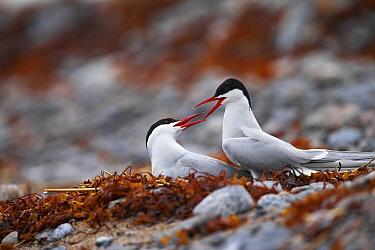 Arctic Tern (Sterna paradisaea) pair quarreling, Harjumaa, Estonia  -  Sven Zacek/ NiS