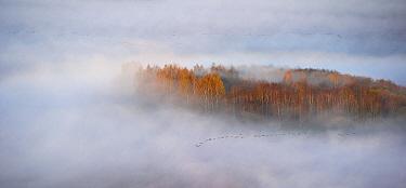 Goose flock flying in fog, Tartumaa, Estonia  -  Sven Zacek/ NiS