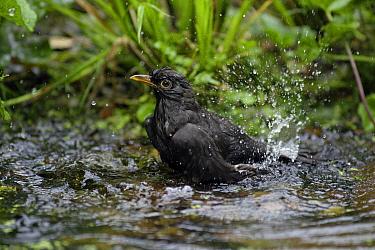 Eurasian Blackbird (Turdus merula) male bathing in garden pond, Lower Saxony, Germany  -  Duncan Usher