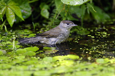 Blackcap (Sylvia atricapilla) female bathing in garden pond, Lower Saxony, Germany  -  Duncan Usher