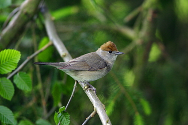 Blackcap (Sylvia atricapilla) female, Lower Saxony, Germany  -  Duncan Usher