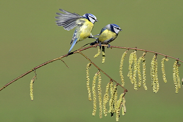 Blue Tit (Cyanistes caeruleus) pair on flowering Hazelnut (Corylus avellana) branch, Lower Saxony, Germany  -  Duncan Usher