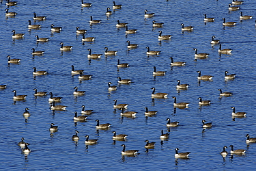 Canada Goose (Branta canadensis) flock resting on lake in autumn, Northumberland, England  -  Duncan Usher