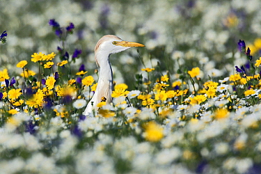 Cattle Egret (Bubulcus ibis) on flowering meadow, Alentejo, Portugal  -  Duncan Usher