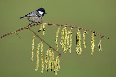Coal Tit (Periparus ater) on flowering Hazelnut (Corylus avellana) branch, Lower Saxony, Germany  -  Duncan Usher