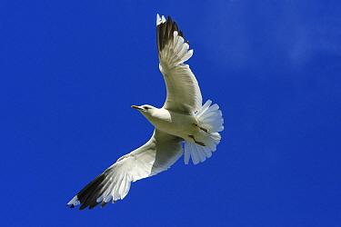 Mew Gull (Larus canus) flying, Texel, Noord-Holland, Netherlands  -  Duncan Usher