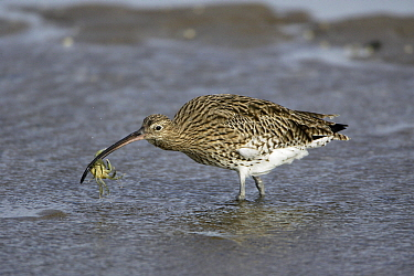 Eurasian Curlew (Numenius arquata) with crab, Northumberland, England  -  Duncan Usher