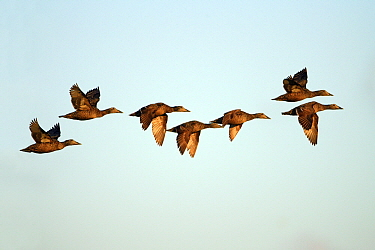 Common Eider (Somateria mollissima) duck, flock of females flying, Texel, Noord-Holland, Netherlands  -  Duncan Usher