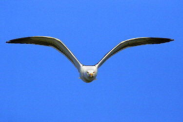 Great Black-backed Gull (Larus marinus) flying, Texel, Noord-Holland, Netherlands  -  Duncan Usher