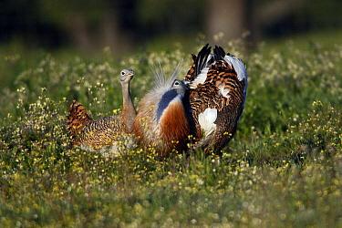 Great Bustard (Otis tarda) male displaying to female, Alentejo, Portugal  -  Duncan Usher
