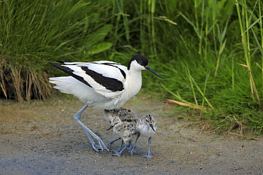Pied Avocet (Recurvirostra avosetta) with chicks, Texel, Noord-Holland, Netherlands  -  Duncan Usher