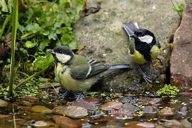 Great Tit (Parus major) with juvenile at garden pond, Lower Saxony, Germany  -  Duncan Usher