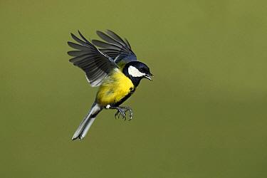 Great Tit (Parus major) flying, Lower Saxony, Germany  -  Duncan Usher