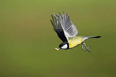 Great Tit (Parus major) flying with a peanut. Lower Saxony, Germany  -  Duncan Usher