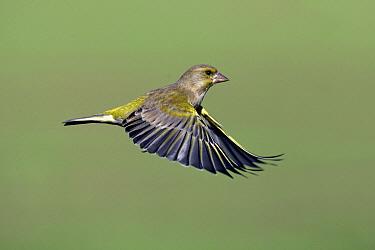 European Greenfinch (Chloris chloris) male flying, Lower Saxony, Germany  -  Duncan Usher