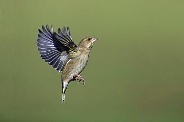 European Greenfinch (Chloris chloris) flying, Lower Saxony, Germany  -  Duncan Usher