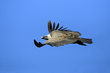 Griffon Vulture (Gyps fulvus) flying, Andalucia, Spain  -  Duncan Usher